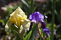 2016-366-114 And Like That, The Yellow Irises are on the Scene (26334422230).jpg