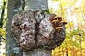 20161030 Baumwucherung mit Pilz.jpg