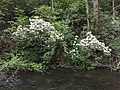 2017-05-17 17 35 48 Mountain Laurel blooming over Forge Creek near Forge Creek Road in Great Smoky Mountains National Park, within Blount County, Tennessee.jpg