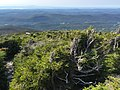 2017-09-11 14 51 19 Stunted Red Spruce trees along the Sunset Ridge Trail at about 3,590 feet above sea level on the western slopes of Mount Mansfield within Mount Mansfield State Forest in Underhill, Chittenden County, Vermont.jpg