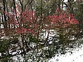 2018-11-15 07 59 36 Snow and sleet on Euonymuses along a walking path in the Franklin Farm section of Oak Hill, Fairfax County, Virginia.jpg
