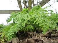 20180330Anthriscus sylvestris2.jpg