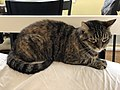 2020-05-08 19 27 19 A tabby cat lying on the back of a couch in the Franklin Farm section of Oak Hill, Fairfax County, Virginia.jpg
