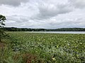 2020-08-16 16 50 19 View across a large patch of American Lotus in Swartswood Lake within Stillwater Township, Sussex County, New Jersey.jpg