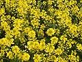 2021-04-24 17 38 32 Yellow mustard flowers along a walking path in the Franklin Farm section of Oak Hill, Fairfax County, Virginia.jpg