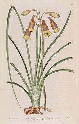 286 Blandfordia nobilis