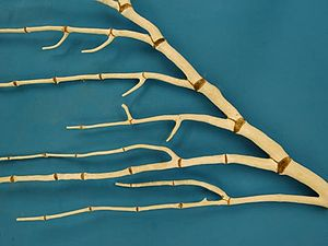 Bamboo coral - This bamboo coral branches at the gorgonin internodes
