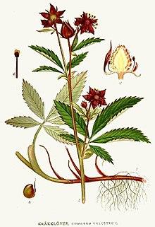 Биологические и лекарственные характеристики сабельника болотного