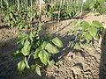 3365ajfVigna unguiculata sesquipedalis Ecijafvf 05.JPG