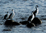 4 black-faced cormorants.jpg