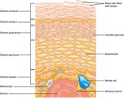 502 Layers of epidermis.jpg