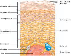 502 Layers of epidermis.jpg
