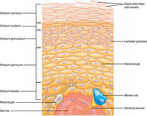 Merkel cell - Merkel cells (shown in blue) are located in the basal epidermal layer of the skin.