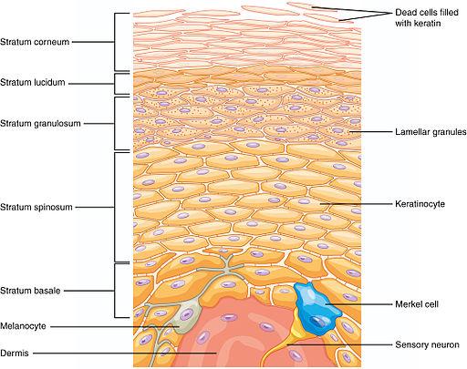 Layers of epidermis, skin, anatomy, Integumentary system