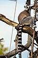 50 Jahre Knie's Kinderzoo Rapperswil - Lemur catta 2012-10-03 15-27-03.JPG