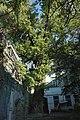 51-101-5015, тополя на Торговій, Одеса.jpg