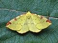 70.226 BF1906 Brimstone Moth, Opisthograptis luteolata (3683327083).jpg