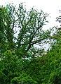 80-382-5047 Kyiv Mozolewskogo Oak SAM 0069.jpg