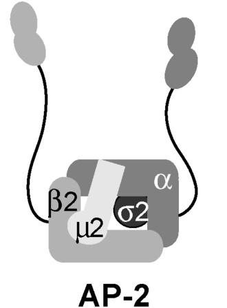 AP2 adaptor complex - AP-2 complex