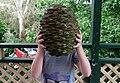 A Bunya Araucaria bidwillii cone.jpg