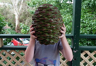 Araucaria bidwillii - A comparison on how large the cones can grow