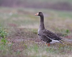 A Day At Riverlands Greater White-fronted Goose (44592382444).jpg