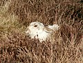 A Mountain Hare on Yellow Slacks Rocks - geograph.org.uk - 1114837.jpg