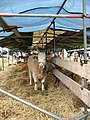 A day at the Aylsham Show - cattle tent - geograph.org.uk - 937079.jpg