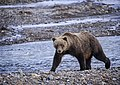A grizzly bear walks along the edge of the Teklanika River during the first day of Road Lottery on Sept. 13, 2019. (17c9983e-4b0e-472e-b326-674d897361d0).JPG