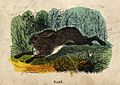 A hare. Coloured wood engraving. Wellcome V0021351.jpg