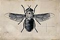 A horse fly (Tabanus biguttatus). Pen and ink drawing by A.J Wellcome V0022590.jpg
