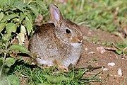 A lovely tiny little rabbit - compare with the leaves^^ - at Hoge Erf Schaarsbergen in springtime - panoramio.jpg