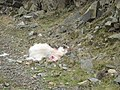 A victim of a fox or a rogue dog. - geograph.org.uk - 681349.jpg