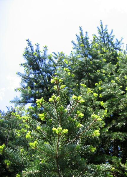 File:Abies holophylla 01.jpg