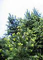 Abies holophylla 01.jpg