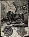 Above, a lion standing roaring in a mountainous landscape, b Wellcome V0021113.jpg