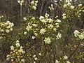 Acacia genistifolia (9021952912).jpg