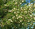 Acacia gerrardii, loof en bloeiwyses, Walter Sisulu NBT.jpg