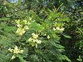 Acacia mearnsii - black wattle at Mannavan Shola, Anamudi Shola National Park, Kerala (7).jpg