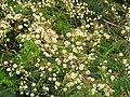 Acacia pennata-2-yelagiri-vellore-India.jpg