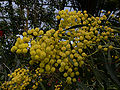 Acacia pycnantha 0703046.jpg