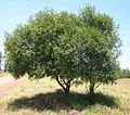 Acacia salicina habit.jpg
