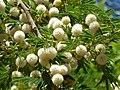 Acacia sieberiana, blomme, Pretoria, c.jpg