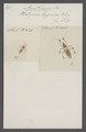Acanthaspis - Print - Iconographia Zoologica - Special Collections University of Amsterdam - UBAINV0274 041 03 0007.tif