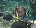 Acanthurus guttatus Réunion.jpg