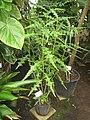 Acanthus polystachyus - NBGB - IMG 4413.JPG