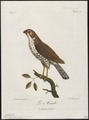 Accipiter minullus - 1796-1808 - Print - Iconographia Zoologica - Special Collections University of Amsterdam - UBA01 IZ18300121.tif