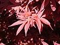 Acer palmatum (34012002391).jpg