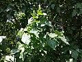 Acer tataricum (subsp. tataricum) sl1.jpg