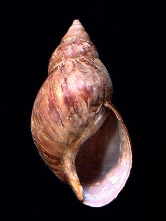 Achatina - A shell of Achatina fulica